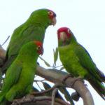 wild-parrots